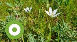 Gewone vogelmelk in de Ooijpolder. Mijn favoriete plantje tijdens de veldbezoeken.