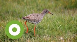 De tureluur is een weidevogel en moerasvogel die houdt van nattigheid