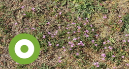 In verdroogd grasland groeit nu massaal gewone reigersbek.