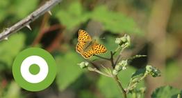 Kleine parelmoervlinder in de Maashorst (Foto Simone Schraven)