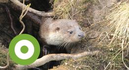 Otter bij een otterholt