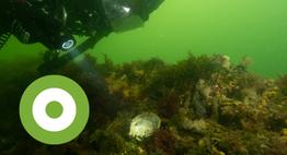 Platte oester (Ester van den Doel/Duikeninbeeld)