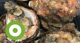 Flink gegroeide oesterbroedjes