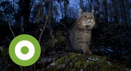 Europese wilde kat. Foto: Klaus Echle, Nature in Stock
