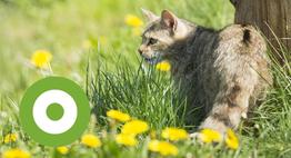 Wilde kat. Foto: Bob Luijks, Natuurportret