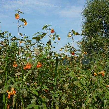 Oranje springzaad