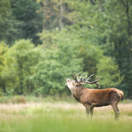Burlend edelhert. Foto: Bob Luijks