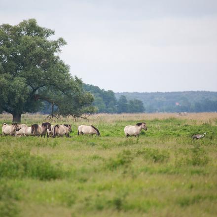 Kraanvogel en konikpaarden