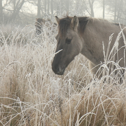 Landtong konik in de winter