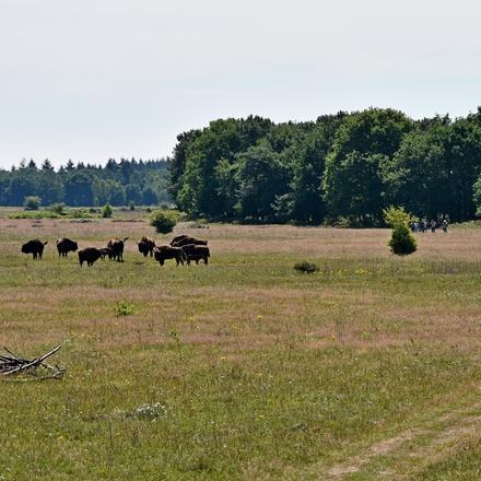Wandelen in het leefgebied van de wisenten. Foto: Martien van Dooren