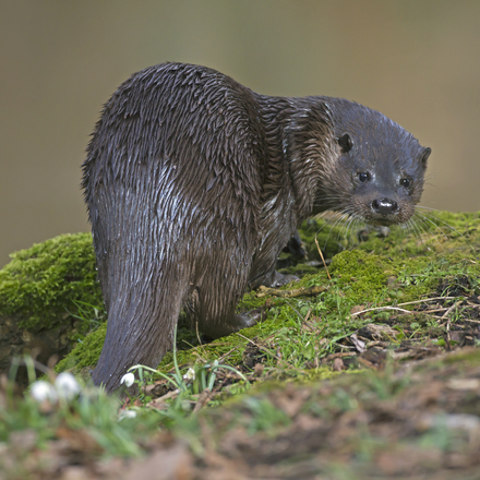 Otter. Foto: Roger Tidman, Nature in Stock