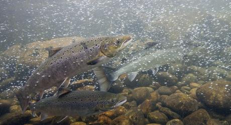Salmo salar; salmon; Atlantische zalm