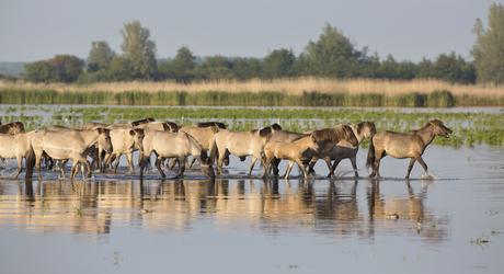 Konikpaarden in het water. Foto: Edwin Rem, Nature in Stock