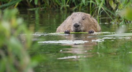 Bever, foto Willy de Koning