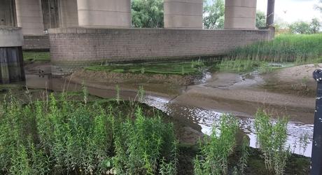 Zoete slikken onder de Brienenoordbrug. Een voorbeeld van (zoetwater-)getijdennatuur in hartje Rotterdam.