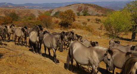 Konikpaarden in de Oostelijke Rhodopen