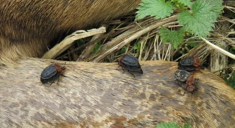 Oranje aaskevers op een kadaver. Foto: Ruth van den Herik