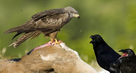 Zwarte wouw op kadaver. Foto: Marijn Heuts, Nature in Stock
