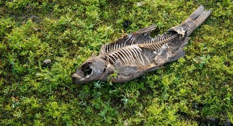 Dode vis tussen pionierplanten