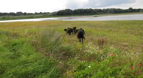 Galloway runderen bij Itteren