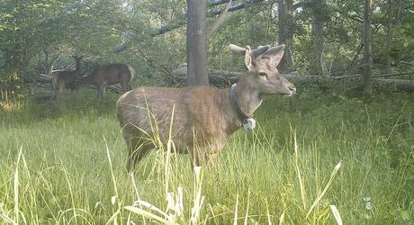 Edelherten op wildcamera in Het Groene Woud