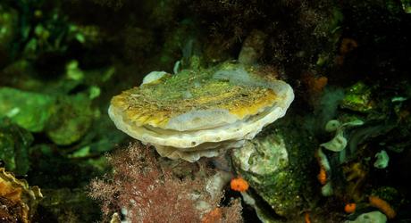 Platte oester; European flat oyster