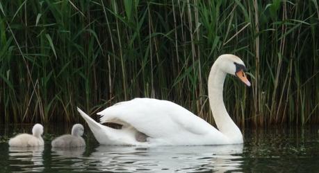 Zwaan met jongen op het riviertje de Koedood