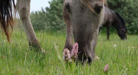 Konikpaard en vleeskleurige orchis op de Slikken van de Heen. Foto: Esther Linnartz-Nieuwdorp