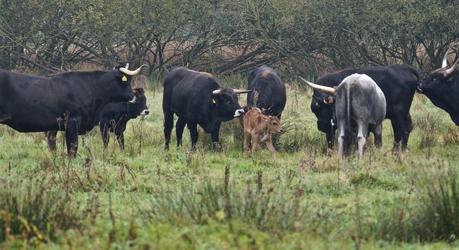 Een pas geboren kalf maakt kennis met de kudde. Foto: Theo van der Heijden