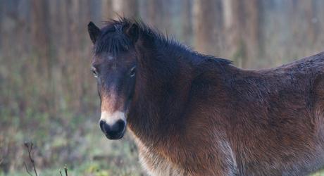 Exmoor paarden