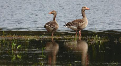 Grauwe ganzen, foto: Hans van de Laar