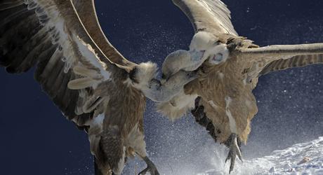 Vale gier Foto: Magnus Elander / Wild Wonders of Europe