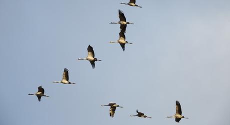 Vliegende kraanvogels