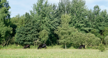 Taurossen in de Maashorst. Foto: Twan Teunissen