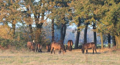 Exmoor pony's op de Maashorst