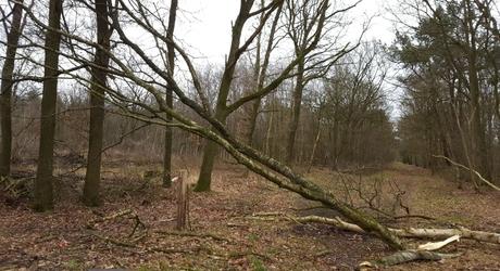 Omgevallen bomen op de Maashorst