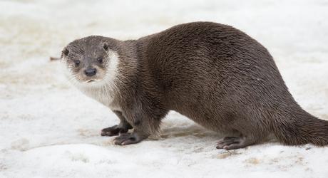 Otter. Foto: Bob Luijks, Natuurportret