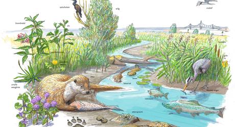 Nieuwe kansen voor de otter langs de Rijn