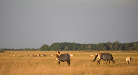 Przewalski Milan Radisics, Wild Wonders of Europe
