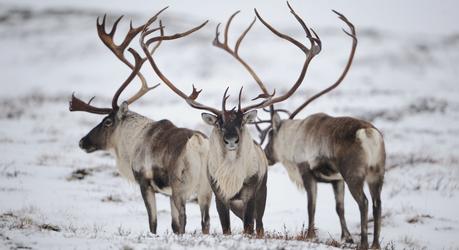 Rendieren, foto: Vincent Munier - Rewilding Europe