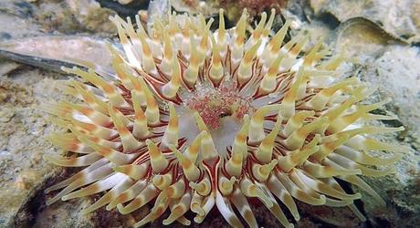 De Zeedahlia is een grote, brede zeeanemoon met de dikste tentakels van alle Nederlandse zeeanemonen. Foto: Valentin Engelbos