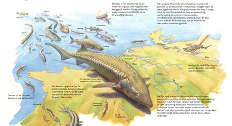 De steur: boegbeeld van trekvissen. Tekening: Jeroen Helmer