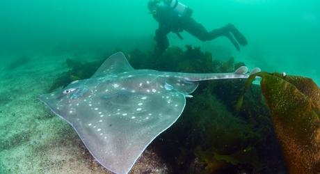 De reusachtige vleet kan meer dan tweeëneenhalve meter lang worden. (Foto: WWF NL / Peter Verhoog)