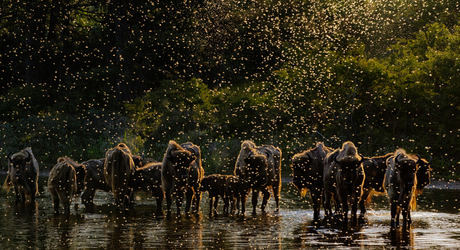 'Dawn of the Bison'. Foto: Jasper Doest