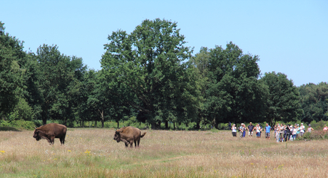 Wisent en recreanten in de Maashorst