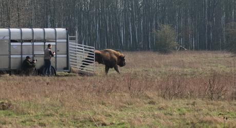 Wisent op de Maashorst. Foto: Roeland Vermeulen/FREE Nature