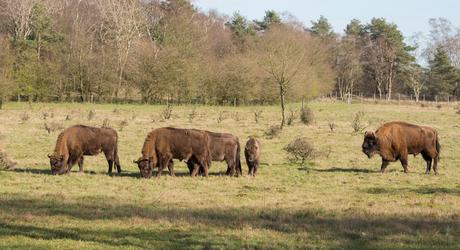 De wisentenkudde op de Veluwe. Foto: Gijs Hekkert