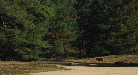 Wolf Veluwe. foto: K. van der Sluis