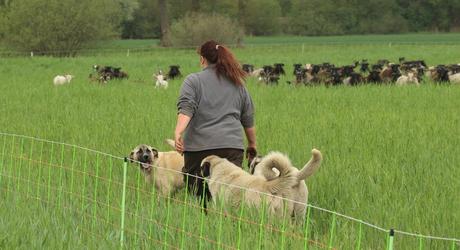 Geiten- en schapenkudde met kuddewaakhonden.