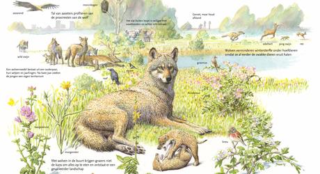 Sleutelrol van de wolf in de natuur